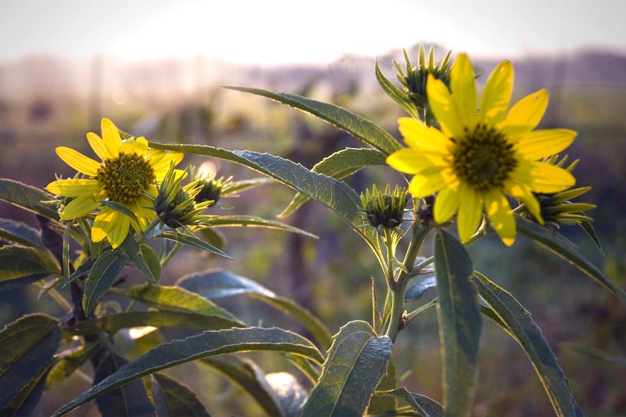 MO-Montrose_DSC0033_sunflowers_fence.jpg