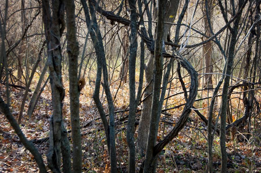Parkville Nature Sanctuary - Twisted Trees