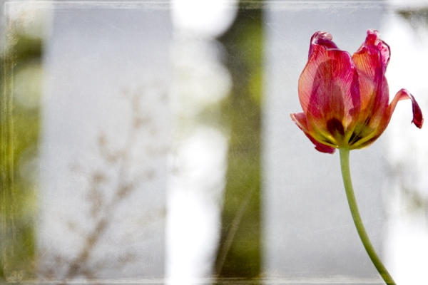 Tulip and White Picket Fence
