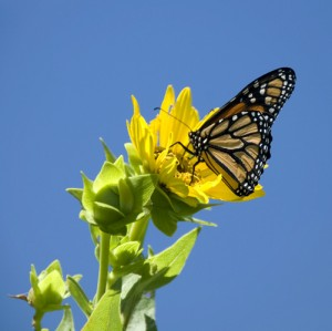Tallgrass Prairie Butterfly